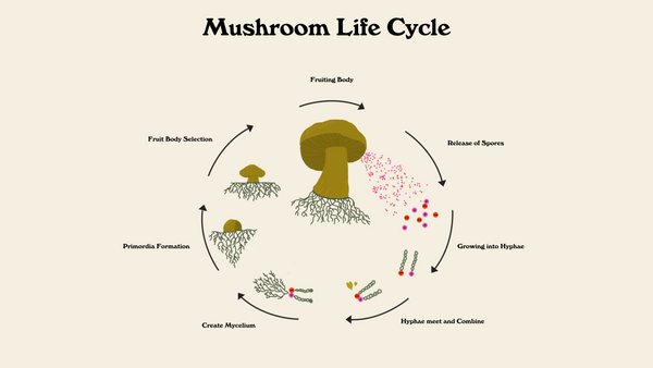 Infographic image of mushroom life cycle. Starting with a large fruiting body mushroom with arrows to the release of spores, with arrows showing spores growing into hyphae, hyphae combine to create mycelium, primordia formation into fruiting body.