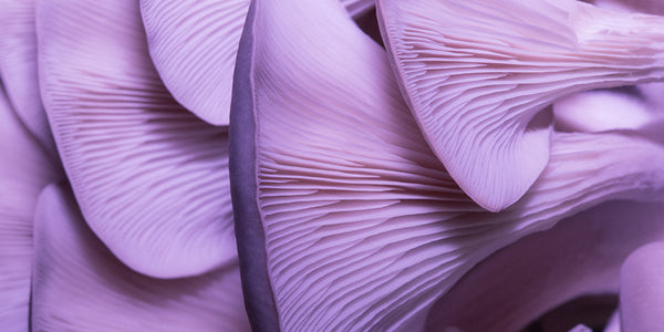Close up picture of oyster mushrooms on their side. The photo has been edited to make them look purple at the top and fade into a pink at the bottom.