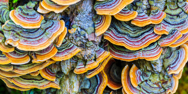 turkey tail medicinal mushrooms that are vibrant orange, purple, blue in colour