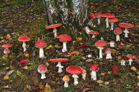 a photograph of many amanita muscaria mushrooms at the base of a tree. the mushrooms have a bright red cap speckled with white dots and a white stem leading into the ground that is covered in grass and fallen leaves.