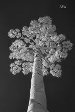 Austin photographer, infrared photography, century plant, black and white tree photo
