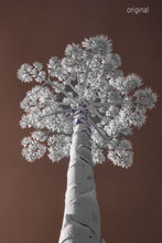 Austin photographer, infrared photography, century plant, brown and white tree photo