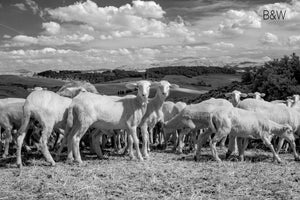 Tuscan wild sheep photo, infrared photography, Austin photographer, black and white livestock photo