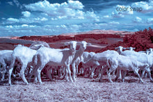Tuscan wild sheep photo, infrared photography, Austin photographer, livestock photo