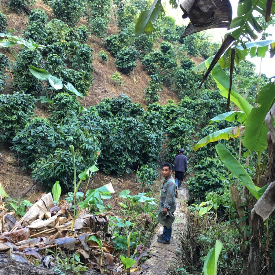 Palm Society Coffee Traders, Tha Song Yang Coffee Farm