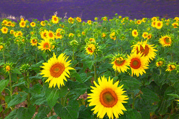 851-provence-sunflowers-lavender-france-.jpg