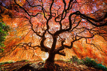 914-japanese-maple-seattle-914.jpg