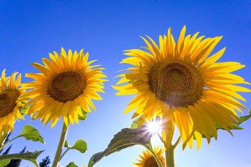 850-provence-sunflowers-france-.jpg