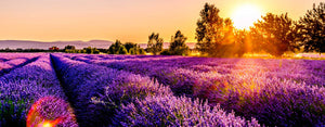 Lavender Oil Fields