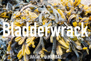 Bladderwrack Benefits | Thyroid Support, Heart Health, Anti-Inflammatory Support