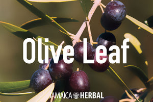 Olive Leaf Extract Health Benefits | Anti-viral, Anti-bacterial, Brain Health, Blood Pressure Support