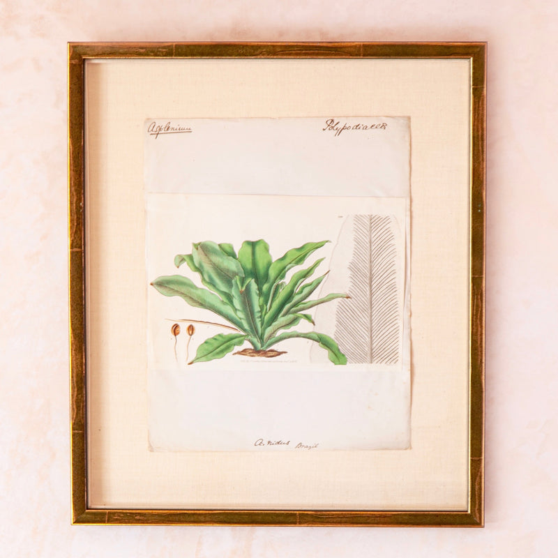 18th Century Hand-Coloured Fern Print