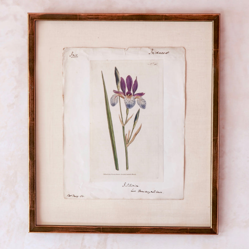 18th Century Hand-Coloured Iris Print