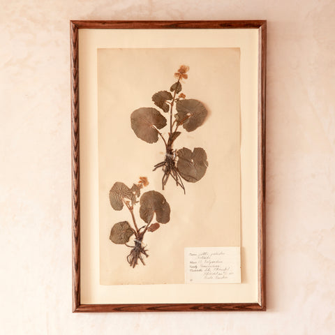 Framed Herbarium Specimen, Swedish, c 1930s