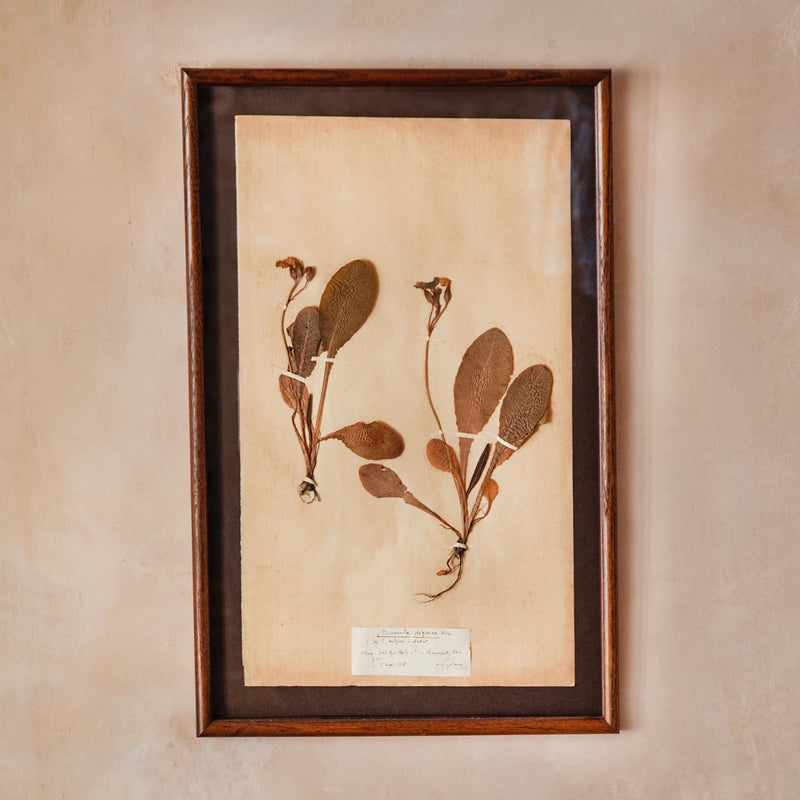 Framed Herbarium Specimen, French, c. 1900