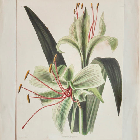 Custom-Framed 18/19th Century Hand Coloured Botanical print