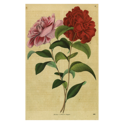 Double Rose, Postcard