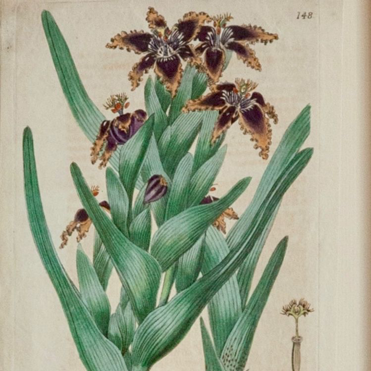Custom-Framed 18/19th Century Hand-Coloured Botanical Print