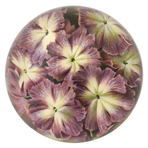 Primula Cortusoides - Dome Paperweight