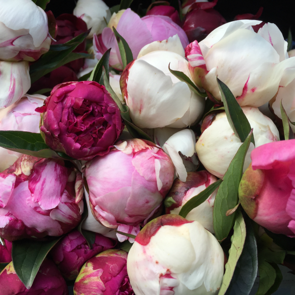 Peonies - Box of 20 stems delivered North Island - SEASON FINISHED