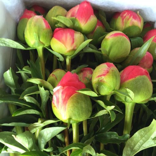 Peonies - Box of 20 stems delivered North Island - available soon