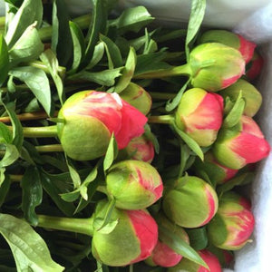 Peonies - Box of 20 Peonies - delivered South Island - SEASON FINISHED