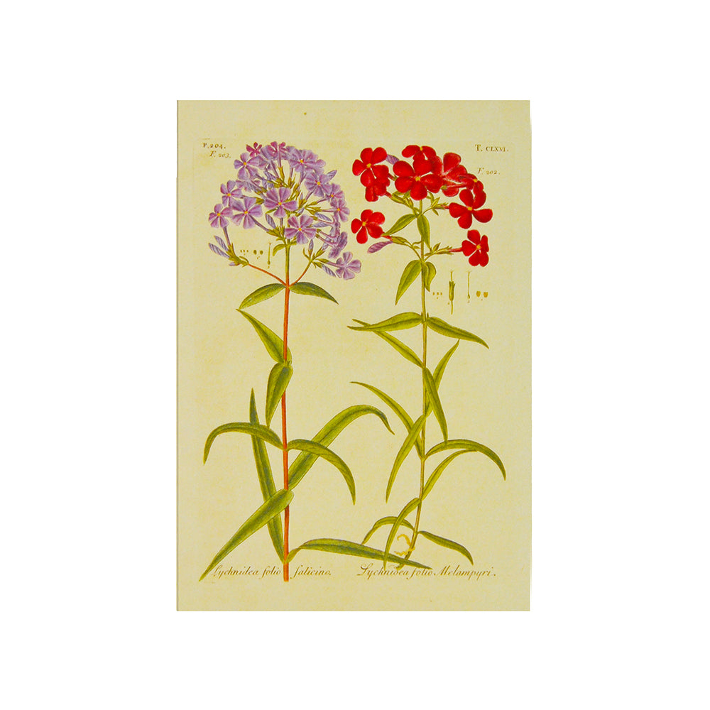 Garden Phlox Greetings Card