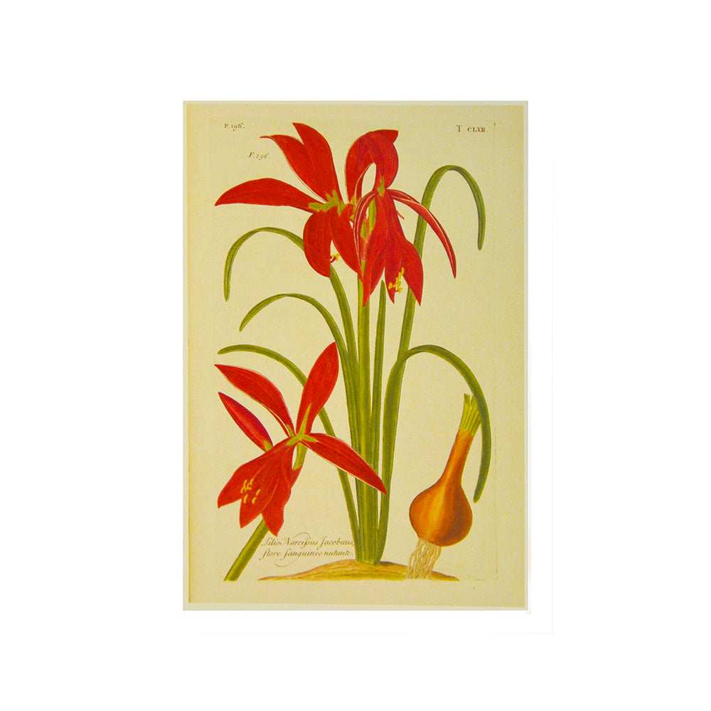 Jacobean Lily Greetings Card