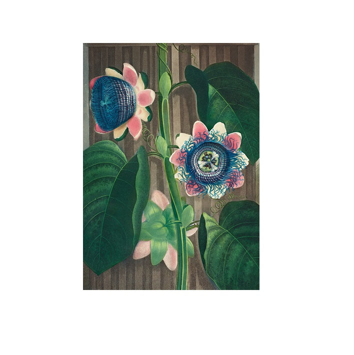 The Quadrangular Passion Flower Greetings Card