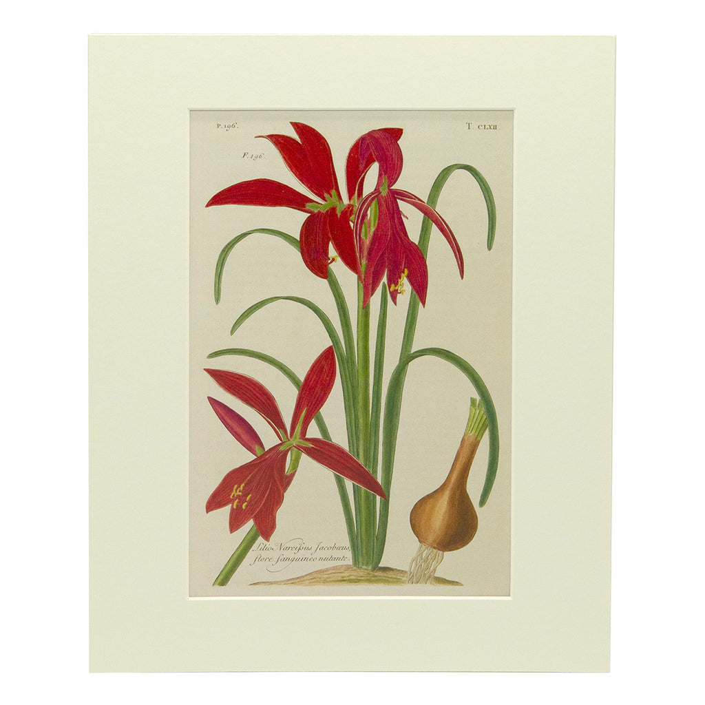 Jacobean Lily Mounted Print