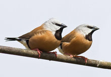 Load image into Gallery viewer, Parson Finch aka Black-throated Finch