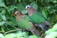 Load image into Gallery viewer, Green-Winged Dove