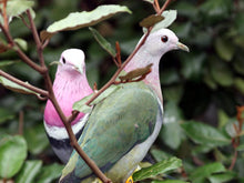 Load image into Gallery viewer, Pink-headed Fruit Dove