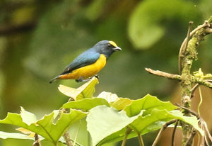 Orange-vented Euphonia