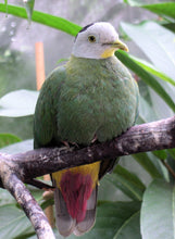 Load image into Gallery viewer, Black-naped Fruit Dove