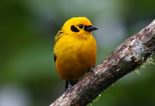Load image into Gallery viewer, Golden Tanager