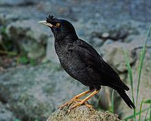 White-edge Mynah