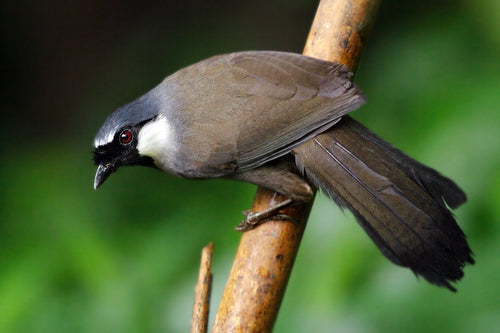 Black Throated Laughing Thrush