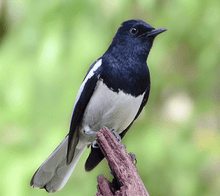 Load image into Gallery viewer, Oriental Magpie Robin