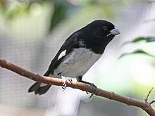 Black and white Seedeater