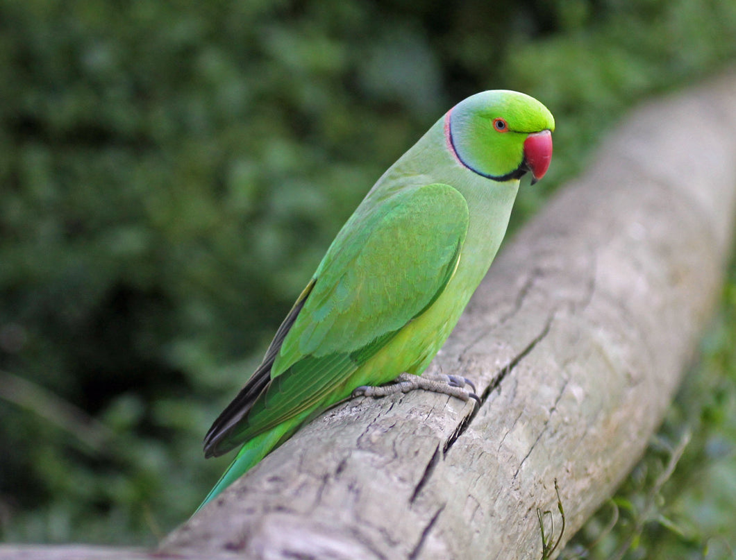 Rose-ringed Parakeet (Ring-necked)
