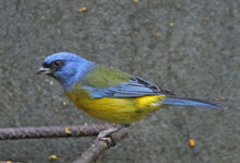 Load image into Gallery viewer, Blue and Yellow Tanager