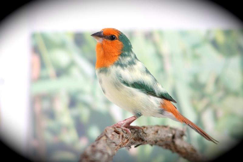Pied Orange Headed Parrotfinch