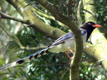 Load image into Gallery viewer, Red-billed Blue Magpie