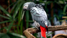 Load image into Gallery viewer, African Grey Parrot