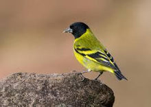 Load image into Gallery viewer, Hooded Siskin