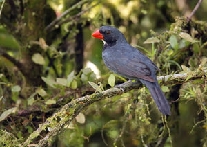 Slate-colored Grosbeak