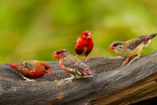 Load image into Gallery viewer, Strawberry Finch