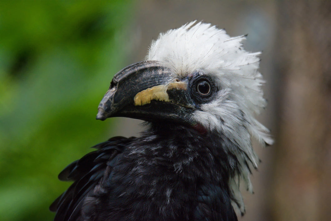 Long Tailed (White Crested) Hornbill