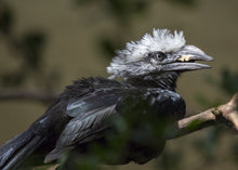 Load image into Gallery viewer, Long Tailed (White Crested) Hornbill